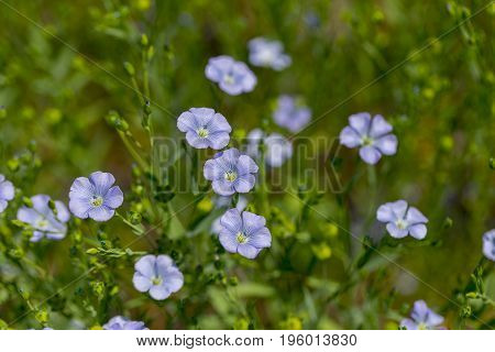 Flax Blooms. Green Flax Field In Summer Sunny Day. Agriculture, The Cultivation Of Flax. Selective F