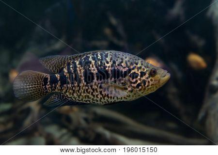 Spotted Jaguar Cichlid in an aquarium close-up.