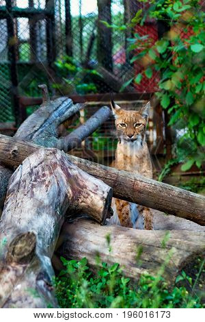 Bobcat Lynx sitting among the logs in the zoo.