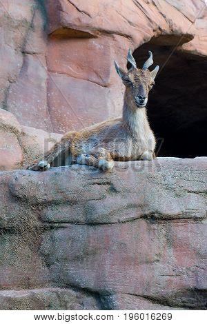 mountain goat also known as Turkemen Markhor.