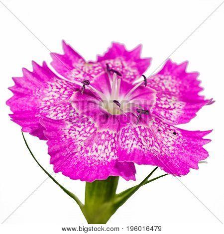 Cloves garden flower isolated on white background