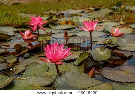 Blooms of Waterlilly plant in small natural pond