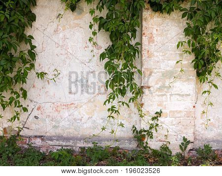 Green Ivy Vines Leaves On The Yellow Wall Of The Building. You Can Use As The Background Of La For A