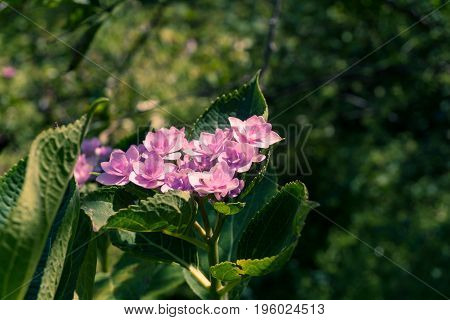 Close-up of beautiful purple Flowers. View on Beautiful Pink Flowers in Sunlight. Blooming Flowers in Summer.