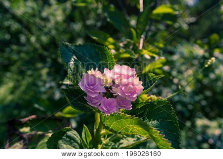 Close-up of beautiful purple Flowers in the Morning Light. View on Beautiful Pink Flowers in Sunlight. Blooming Flowers in Summer.