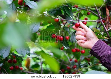A hand picking matured cherry from tree