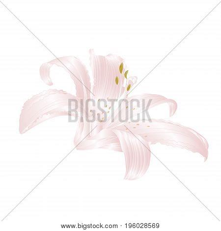 White Lily Lilium candidum flower white vector illustration editable Hand draw
