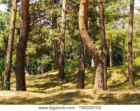 Inside Pine Tree Forest / Coniferous Forest