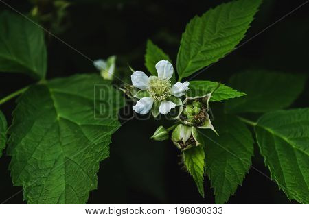 Green leaves, flowers and immature blackberry on dark background