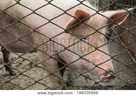 Pig Behind Bars