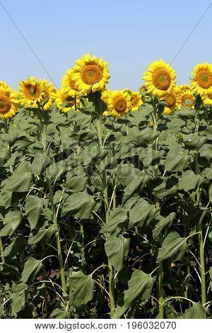Landscope Field Of Sunflowers
