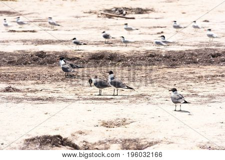 Group Of Gulls On The Beach Playa Paradise Of The Island Of Cayo Largo, Cuba. Copy Space For Text.