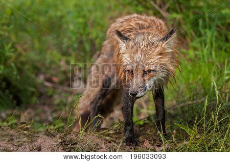 Red Fox Vixen (Vulpes vulpes) Head Down - captive animal