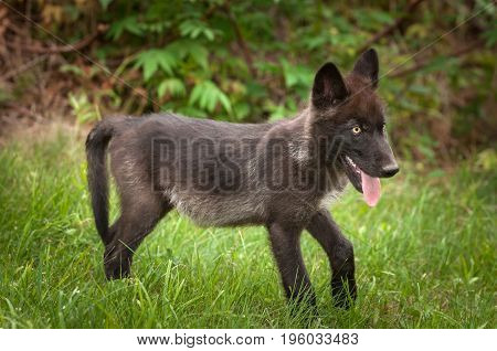 Black Phase Grey Wolf (Canis lupus) Pup Stands in Grass - captive animal
