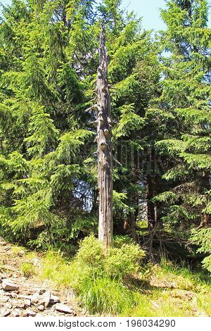 tall dead trunk and green spruces behind it on Smrk Hill, Beskydy mountains, Czech Republic