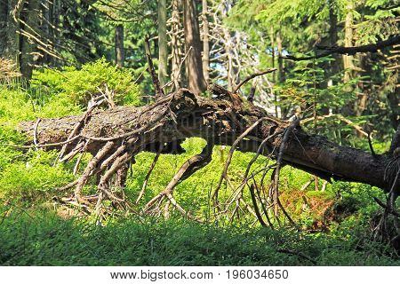 dead trunk of fallen spruce tree with crooked branches on Smrk Hill, Beskydy mountains, Czech Republic