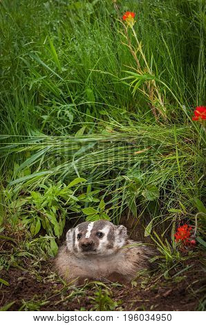North American Badger (Taxidea taxus) Looks Out From Den - captive animal