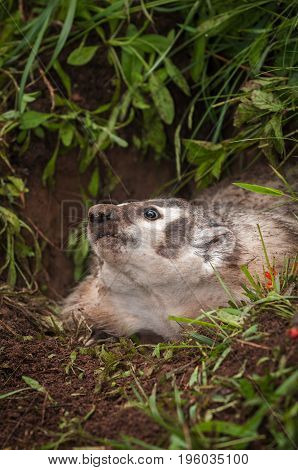 North American Badger (Taxidea taxus) Looks Up - captive animal