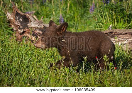 Black Bear Cub (Ursus americanus) Walks Left in Grass - captive animal