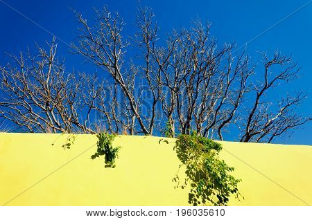 Tree growing on the yellow wall of building in Campeche Mexico