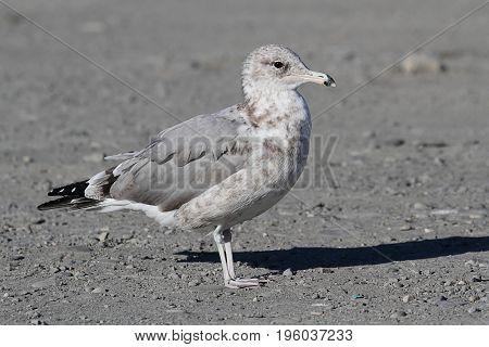 California Gull (Larus californicus) standing near the Pacific Ocean