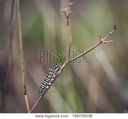 swallowtail butterfly's caterpillar (Papilio machaon) in a branch on a rainy day