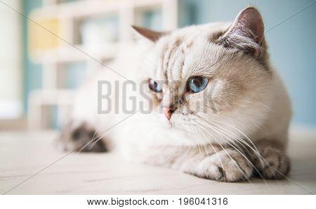 Cute Blue-eyed Cat