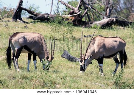 Two grazing African antelopes Oryx. Gemsbok in South Africa