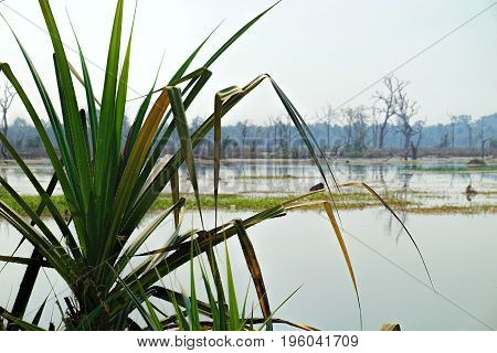Pandanus, Pandanus spiralis growing on the edge of beautiful artificial lake with with trees and other vegetation around the Neak Pean Temple in Angkor Complex. Popular tropical plants of Cambodia