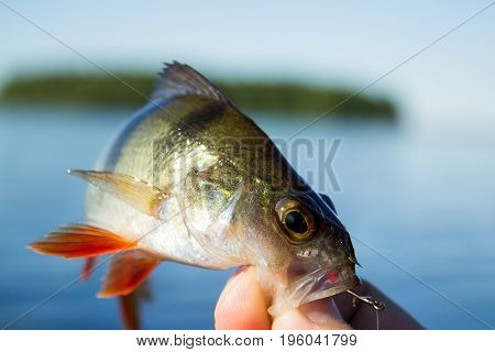 The fisherman holds a perch in his hand at lake