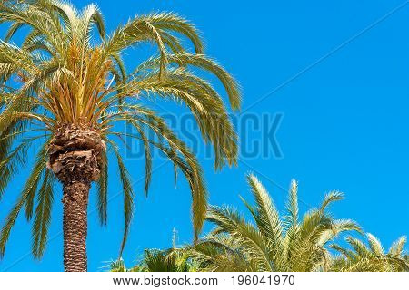 Palm trees against the blue sky Sitges Barcelona Catalunya Spain. Copy space for text. Isolated on blue background