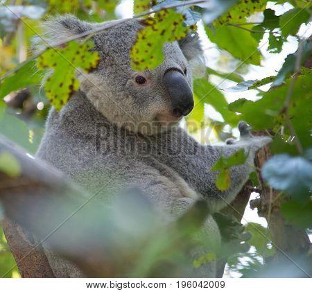 Koala bear hidden in the trees on a bright summer day