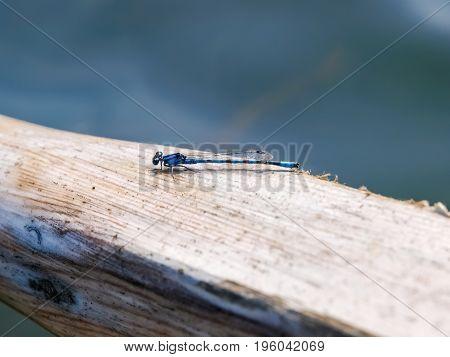 Blue Dragonfly on top of a wooden oar