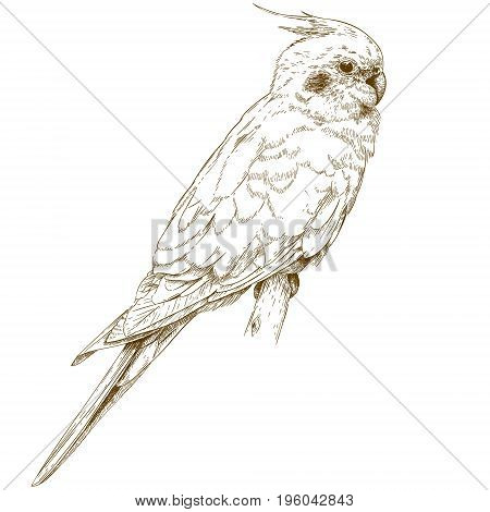 Vector antique engraving illustration of cockatiel isolated on white background