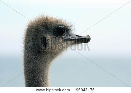 Portrait of an ostrich (Struthio camelus) South Africa