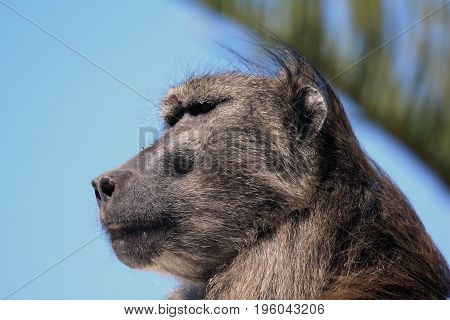Head wild adult male baboon. South Africa