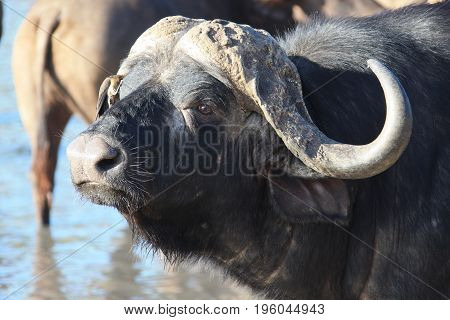 Cape Buffalo (Syncerus caffer) at the waterhole Kruger national Park. South Africa