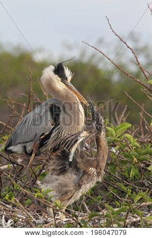 Great Blue Heron (Ardea Herodias) feeding her hungry babies in the Florida Everglades