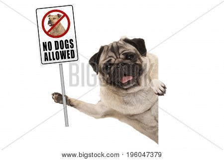 smiling pug puppy dog holding up prohibitory no dogs allowed sign isolated on white background