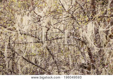 Chinese Usnea Hanging On The Tree In Pudacuo National Park In Shangri La, Yunnan Province, China