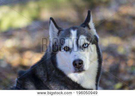 Siberian Husky watching you. Outdoor shot in Germany