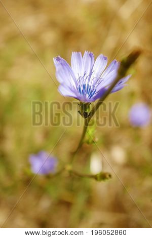 Focus on a single little purple flower in a field under warm sunshine