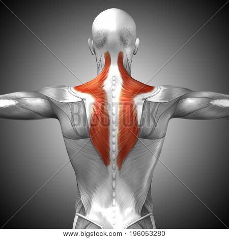 Concept conceptual 3D illustration back fit strong human anatomy or anatomical and gym muscle on gray background for body health with biological tendons, spine, fitness medical muscular system