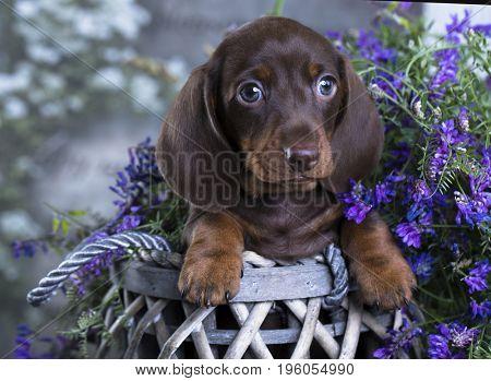 purebred dachshund puppy