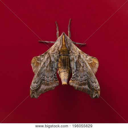 Small-eyed Sphinx moth (Paonias myops) on a red background
