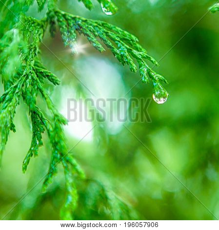 Closeup Of Water Drops on Coniferous Branches in The Park Outdoors. With Beautifully Blurred Background. Square Image Orientation