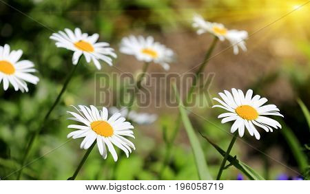 nice daisy flowers in garden