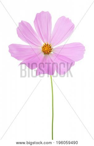 Light pink Cosmos flower  isolated on white background. Garden Cosmos.