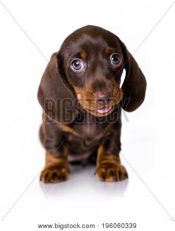 puppy of Dachshund brown-tan on white