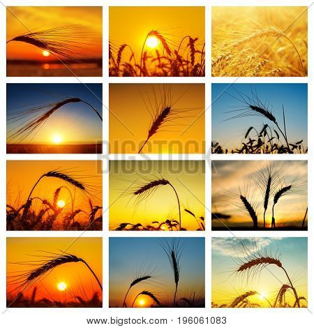 set of pictures with golden crop in sunset. collage for internet projects